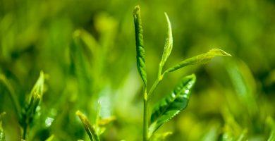 té verde para cuidar la piel
