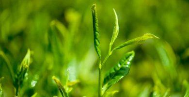 Té verde, canela y limón para adelgazar