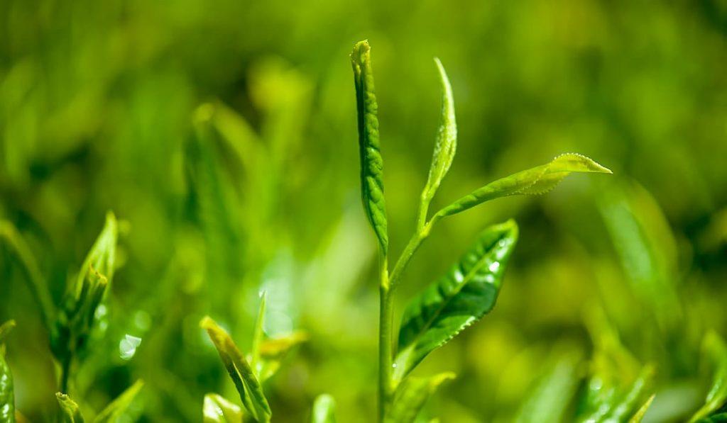 Receta de Té verde, canela y limón